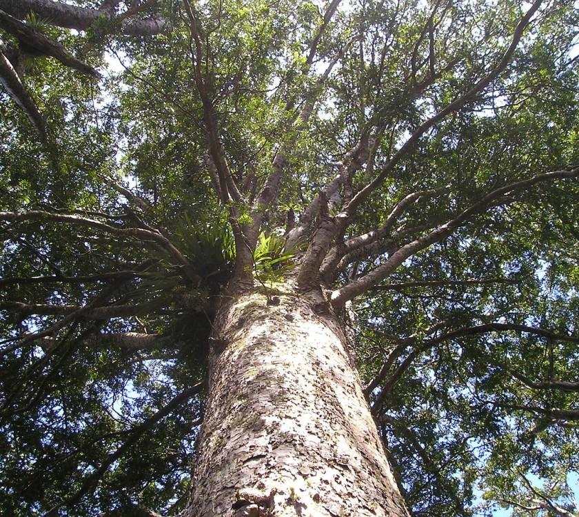 Waiomu Kauri Grove Walk