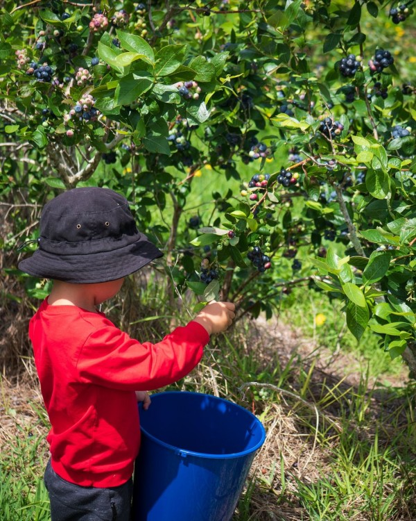 Blueberry Country