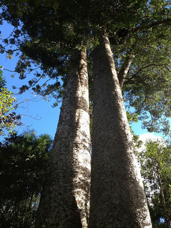 Siamese Kauri