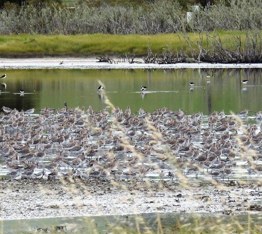 Miranda Shorebirds 1