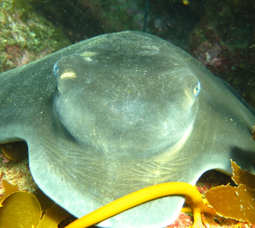stingray-hahei-cathedral-cove-dive-scuba-diving-new-zealand